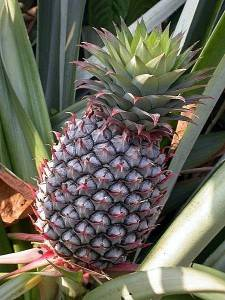 the pineapple web