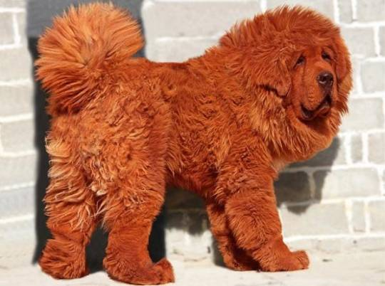 most expensive dog red tibetan mastiff puppy