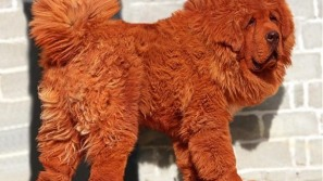 World's most expensive dog sells for almost £1 million